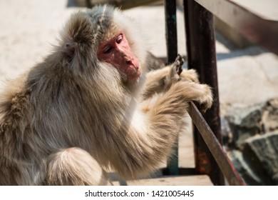 Yamanouchi, Nagano Prefecture, Japan - May 22 2016: A Japanese macaque hangs on the bridge at Jigokudani Monkey Park, Japan.