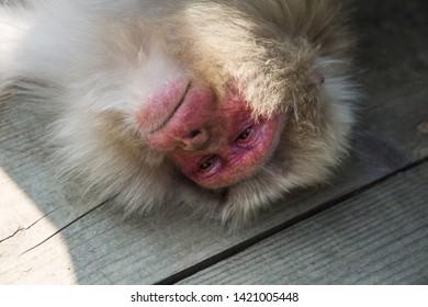 Yamanouchi, Nagano Prefecture, Japan - May 22 2016: A Japanese macaque tries to sleep at Jigokudani Monkey Park, Japan.