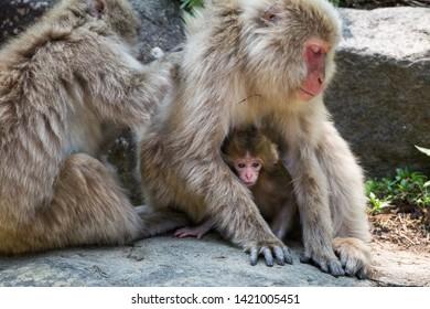 Yamanouchi, Nagano Prefecture, Japan - May 22 2016: A Japanese macaque baby hides at Jigokudani Monkey Park, Japan.