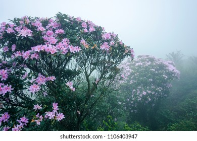 Yangjiang Yangchun City, Guangdong Province, double-crest chicken cage scenery, fog in the azalea flowers