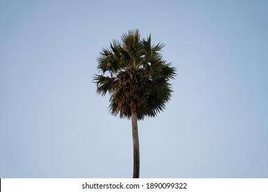 YANGON, MYANMAR - JANUARY 10, 2020: The top of a single palm tree glowing at sunset with surrounding blue sky in Yangon, Myanmar.