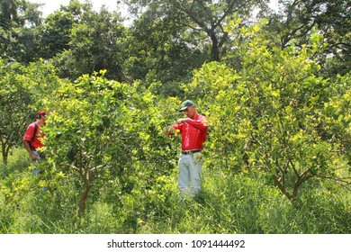 Yaracuy/Venezuela-August 19, 2017: Researchers placing traps for Diaphorina citri vector huanglongbing yellow dragon citrus greening disease in orchard