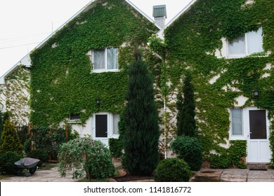 A yard with view on grapes and ivy covered the whole wall of the modern house with plasti? windows
