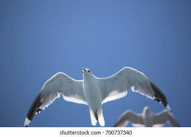 Yaroslavl, Seagull in flight, summer, nature, bottom view, bird shooting from the ship, blue background, August 12, 2017...