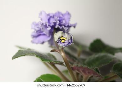 Yaroslavl, Yaroslavskii raion, Russian, 09.07.2019: violet varietal