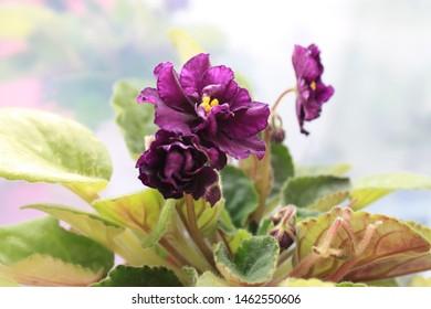 Yaroslavl, Yaroslavskii raion, Russian, 20.05.2019: violet varietal
