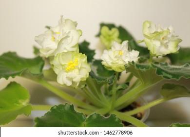 Yaroslavl, Yaroslavskii raion, Russian, 26.06.2019: picture of flowers