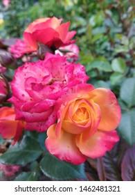 Yaroslavl, Yaroslavskii raion, Russian, 30.06.2019: rosa flower
