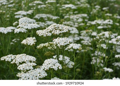Yarrow (Achillea) blooms in the wild among grasses