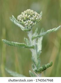 Yarrow - Achillea millefolium Buds of grassland flower