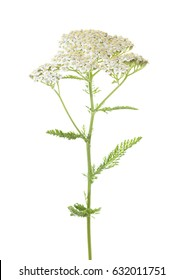 Yarrow (Achillea millefolium) flower isolated on white background. studio shot