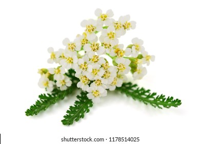 Yarrow (Achillea millefolium) Herbal Plant. Isolated on White Background.