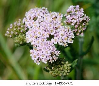 Yarrow - Achillea millefolium Small pink grassland flower