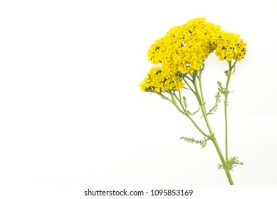 Yarrow Flowers Isolated on White Background