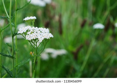 Yarrow flowers, milfoil medicinal plant blooming in the field (Achillea millefolium)