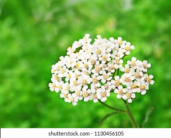 Yarrow flowers, milfoil medicinal plant blooming in the field (Achillea millefolium) closeup,