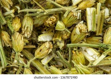 yarrow herb detail, healthy herbs naturopathy