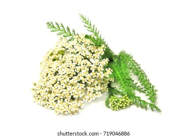 Yarrow isolated, blooming Achillea millefolium close up