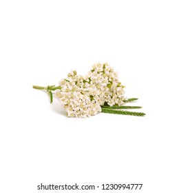 Yarrow isolated, a branch of blooming Achillea millefolium close up