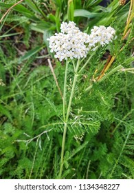 Yarrow or milenrama, Achillea millefolium, growing in Galicia, Spain