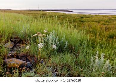 yarrow and other plants in salt marsh at the North Sea coast in Fedderwardersiel, district Wesermarsch (Germany) during low tide