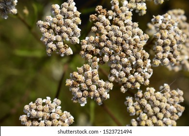 Yarrow Seeds. Yarrow Stem. Agriculture Background