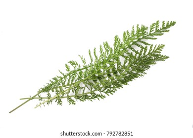 yarrow sprigs (achillea millefolium) isolated on white background.
