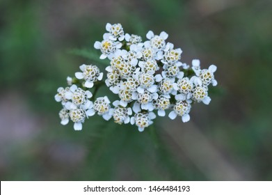 Yarrow white flowers. Wild herb. Common Yarrow close up. Achillea millefolilium. Medicinal herb. Beautiful blossom.