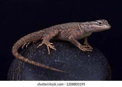 Yarrow's spiny lizard (Sceloporus jarrovii jarrovi)
