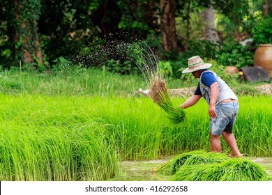 YASOTHON THAILAND - JULY 07: Unidentified farmer holds grass in his hands in the grass field on JULY 07, 2015 in Yasothon, Thailand.