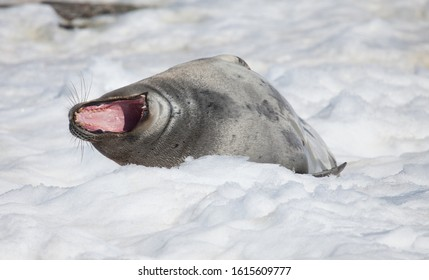 yawn growling seal on ice in Antarctica