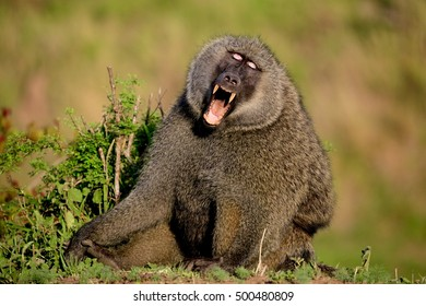 Yawning baboon with mouth wide open exposing canine teeth in Kenya