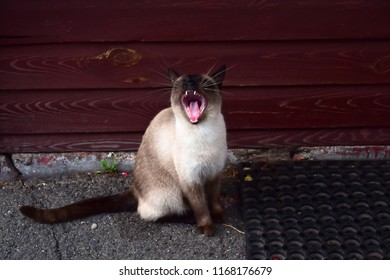 Yawning beautiful siamese cat sitting on the pavement near doormate. Furry animal showing teeth and throat.