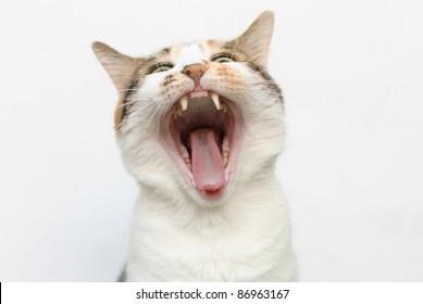 Yawning cat against white background