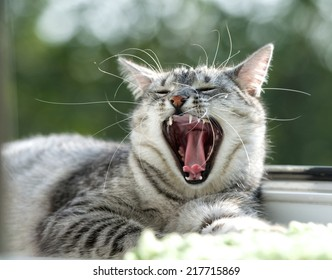 Yawning cat close up in blur background, sleepy cat, grey big cat, funny cat in domestic background, siesta time, relaxing cat, curious cat, cat with open mouth