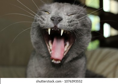 A yawning cat looks like it is laughing hysterically