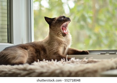 Yawning cat on a windowsill