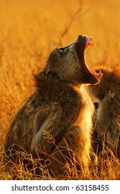 Yawning Chacma Baboon (Papio ursinus) showing its fangs