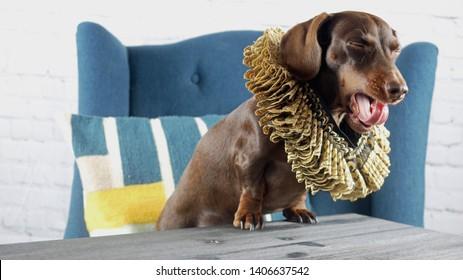 A yawning dachshund wearing a fancy elizabethan collar
