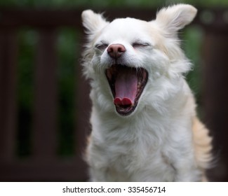 Yawning Dog - White Long Haired Chihuahua with Eyes Closed, Tongue Curled