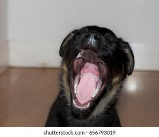 yawning german shepherd x rottie puppy