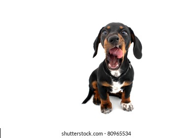 Yawning licking Dachshund dog