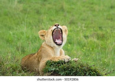 yawning lion cub laying on a grass