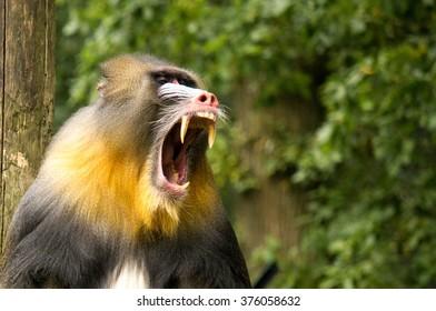 Yawning Mandrill