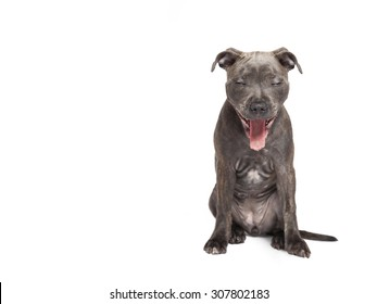The yawning puppy dog of Pitbull, selected on the white background