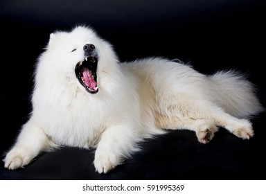 Yawning Samoyed dog (isolated on a black background)