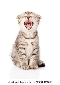 yawning Scottish kitten sitting in front. isolated on white background