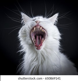 yawning solid white maine Coon cat on black background