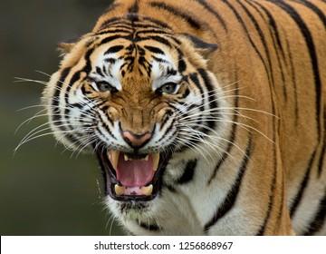 the yawning tiger