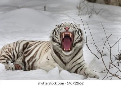 A yawning white bengal tiger, lying on fresh snow.